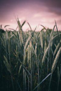 wpwheat2